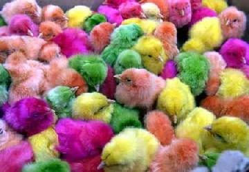 pollos-2.jpg